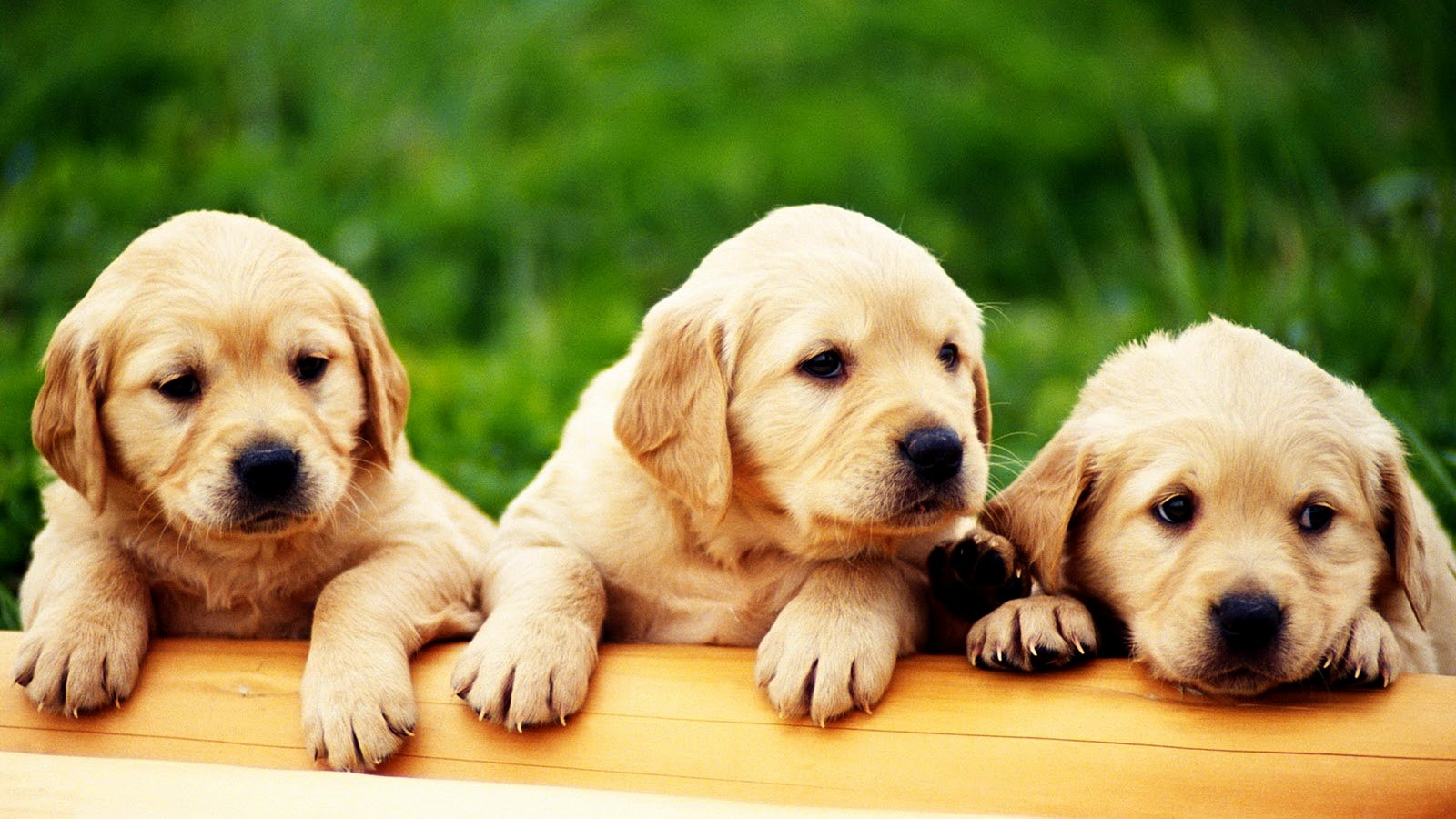 Dog Backgrounds for Desktop Luxury Cute Puppies Hd Wallpapers Collection Desktop Wallpaper